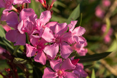 Flor cor-de-rosa do oleandro fotografia de stock royalty free