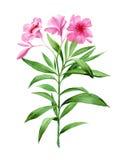 Flor cor-de-rosa do oleandro ilustração stock