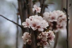 Flor cor-de-rosa do pêssego na mola imagem de stock