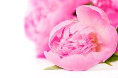 Flor cor-de-rosa do peony fotografia de stock