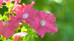 Flor cor-de-rosa do petúnia dos salmões Petúnias cor-de-rosa que balançam na brisa Close up cor-de-rosa das flores do jardim do p filme