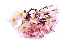 Flor cor-de-rosa do Plumeria Imagens de Stock