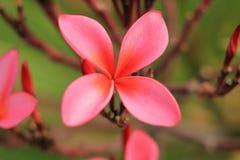 Flor cor-de-rosa do Plumeria Imagem de Stock Royalty Free