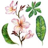 Flor cor-de-rosa do plumeria em um galho Flores florais e folhas do grupo Isolado no fundo branco Pintura da aguarela Imagens de Stock Royalty Free