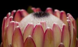 Flor cor-de-rosa do protea fotografia de stock royalty free