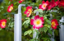 Flor cor-de-rosa do quadril de Rosa Imagem de Stock Royalty Free