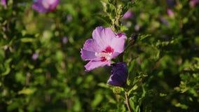 Flor cor-de-rosa do quadril cor-de-rosa em um arbusto na mola Quadril cor-de-rosa selvagem de florescência em uma natureza O Bria vídeos de arquivo
