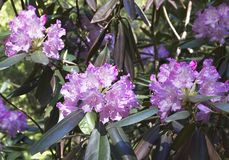Flor cor-de-rosa do rododendro Flor exótica fotografia de stock royalty free