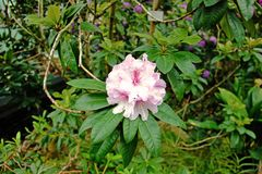 Flor cor-de-rosa do rododendro no jardim fotos de stock royalty free