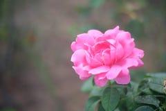 Flor cor-de-rosa do roxo Foto de Stock