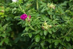A flor cor-de-rosa do rugosa de rosa aumentou foto de stock