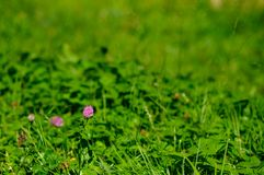 Flor cor-de-rosa do trevo Foto de Stock Royalty Free