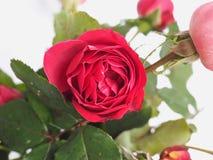 Flor cor-de-rosa do vermelho Foto de Stock Royalty Free