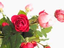 Flor cor-de-rosa do vermelho Fotografia de Stock Royalty Free