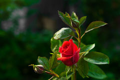 Flor cor-de-rosa do vermelho imagens de stock