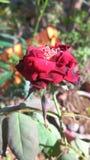 Flor cor-de-rosa do vermelho bonito Fotografia de Stock