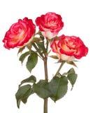 Flor cor-de-rosa do vermelho das flores das rosas Foto de Stock Royalty Free