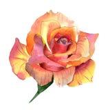 Flor cor-de-rosa do Wildflower em um estilo da aquarela isolada ilustração stock