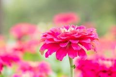 Flor cor-de-rosa do Zinnia Fotos de Stock Royalty Free