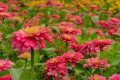 Flor cor-de-rosa do Zinnia fotos de stock