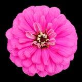 Flor cor-de-rosa do Zinnia em um fundo preto imagens de stock royalty free