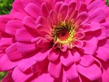Flor cor-de-rosa do Zinnia de setembro fotos de stock royalty free