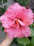 Flor cor-de-rosa dobro do hibiscus Fotografia de Stock Royalty Free