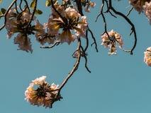 Flor cor-de-rosa doce da árvore de trombeta Foto de Stock