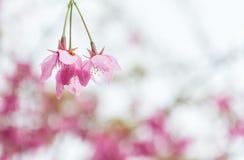 Flor cor-de-rosa doce da flor de cerejeira em Alishan Imagens de Stock
