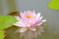 Flor cor-de-rosa doce da flor de lótus em uma lagoa com folhas verdes fotografia de stock royalty free