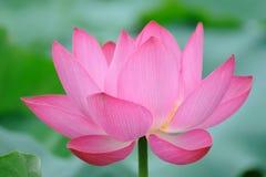Flor cor-de-rosa dos lótus Fotografia de Stock