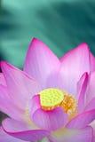 Flor cor-de-rosa dos lótus Fotos de Stock