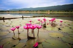 Flor cor-de-rosa dos lótus no lago Fotografia de Stock