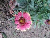 Flor cor-de-rosa e amarela Imagem de Stock Royalty Free
