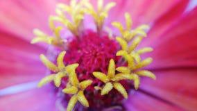 Flor cor-de-rosa e amarela Fotos de Stock Royalty Free