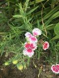 Flor cor-de-rosa e branca Fotos de Stock Royalty Free