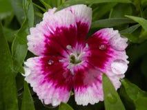 Flor cor-de-rosa e branca imagem de stock royalty free