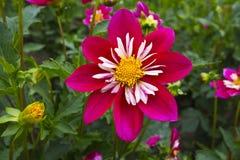 Flor cor-de-rosa e branca da dália. Fotografia de Stock