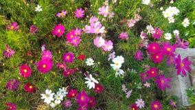 Flor cor-de-rosa e branca do cosmos Imagens de Stock