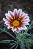 Flor cor-de-rosa e branca grande do gazania Imagens de Stock