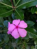 Flor cor-de-rosa e folhas verdes atrás imagens de stock royalty free