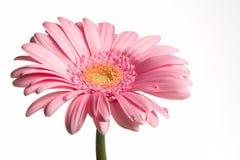 Flor cor-de-rosa e gotas Fotografia de Stock