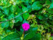 Flor cor-de-rosa e vegetação verde Imagem de Stock Royalty Free