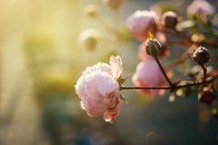 Flor cor-de-rosa elegante coberta com os flocos de neve do gelo Fotografia de Stock