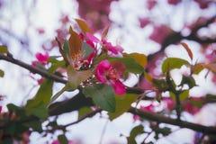 Flor cor-de-rosa em árvores Fotografia de Stock Royalty Free