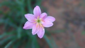 Flor cor-de-rosa em um fundo borrado Imagens de Stock