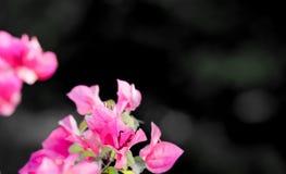 Flor cor-de-rosa em um fundo preto com espaço da cópia imagem de stock royalty free
