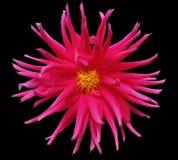 Flor cor-de-rosa em um fundo preto isolado com trajeto de grampeamento closeup Fotos de Stock Royalty Free
