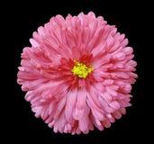 A flor cor-de-rosa, enegrece o fundo isolado com trajeto de grampeamento closeup Fotos de Stock