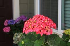 Flor cor-de-rosa escura da hortênsia em uma jarda Imagem de Stock Royalty Free